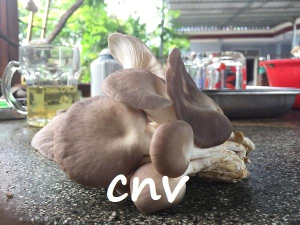 Cách thu hoạch nấm bào ngư