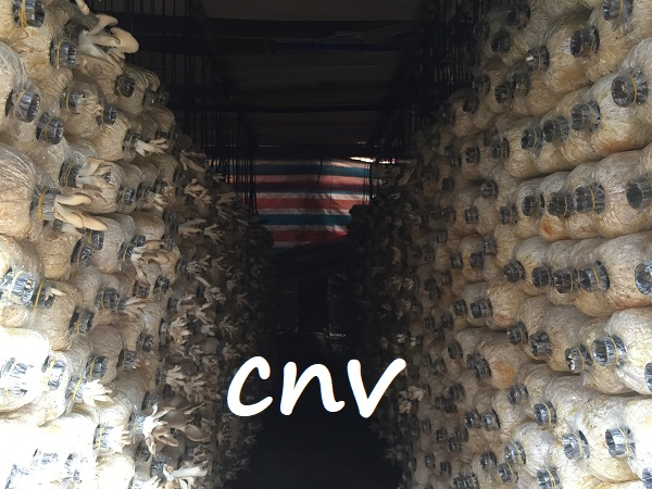 kinh nghiệm sản xuất nấm bào ngư