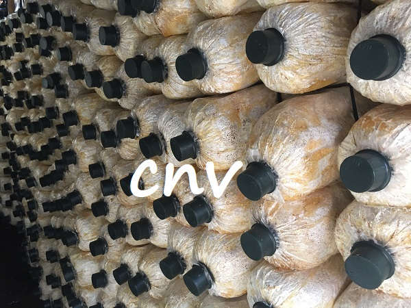 Kỹ thuật trồng nấm bào ngư xám