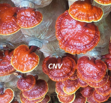 nấm linh chi đỏ cnv