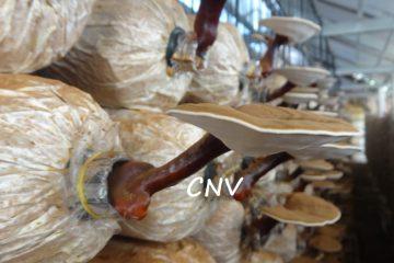 dự án đầu tư trồng nấm linh chi