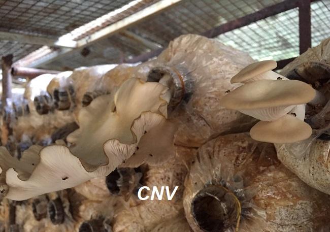 nấm bào ngư bị sâu
