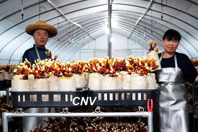 nông dân hàn quốc sản xuất nấm linh chi sừng hươu