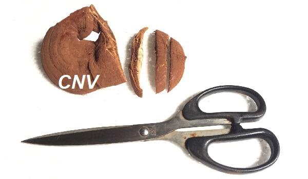 dùng kéo cắt lát nấm linh chi đỏ việt nam