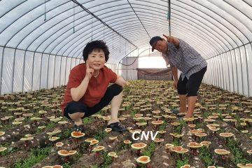 cách trồng nấm linh chi đỏ hàn quốc