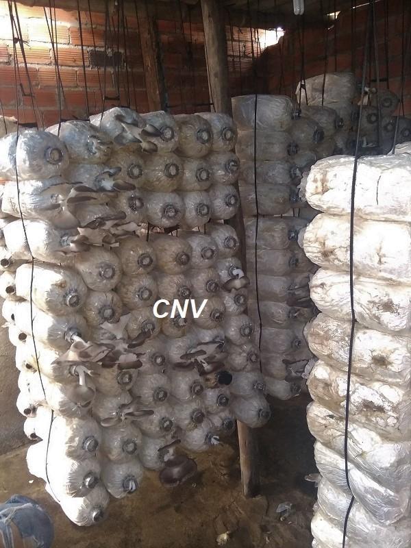 kỹ thuật trồng nấm bào ngư xám trong chuồng trại