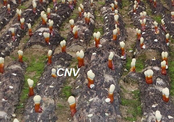 cách trồng nấm linh chi hàn quốc dưới đất