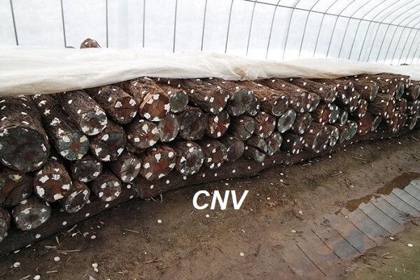 xử lý gỗ trồng nấm linh chi