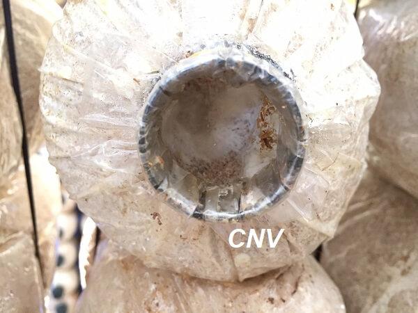 cách hái nấm bào ngư 3.4