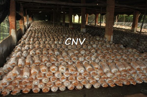 giai đoạn thu hoạch nấm linh chi trung quốc