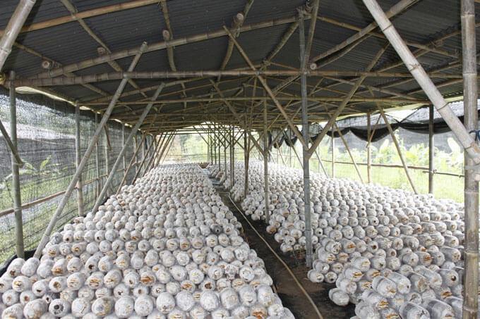 trại trồng nấm linh chi trung quốc