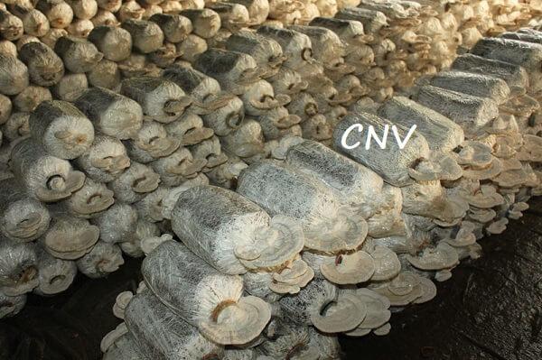 trại trồng nấm linh chi trắng trung quốc