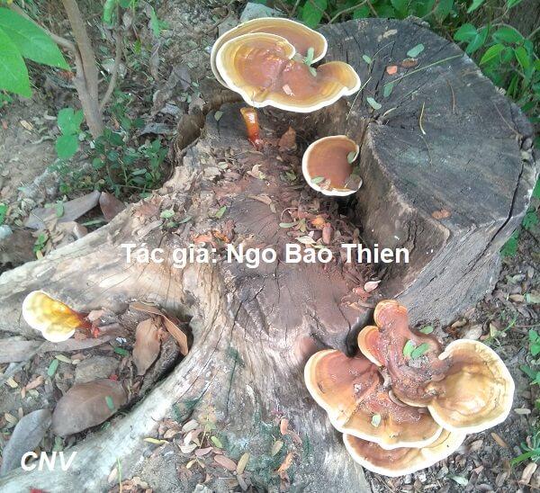Nấm linh chi mọc ở gốc cây phượng, Tác giả: Ngo Bao Thien