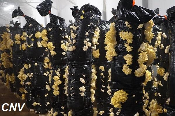 trồng nấm sò vàng trong túi xôp