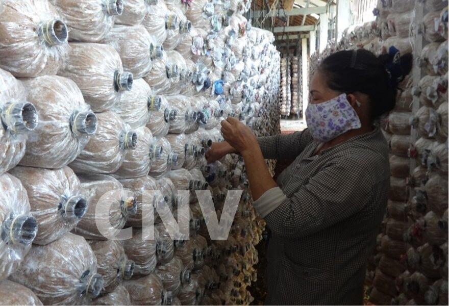 cây nấm việt sản xuất và trồng nấm